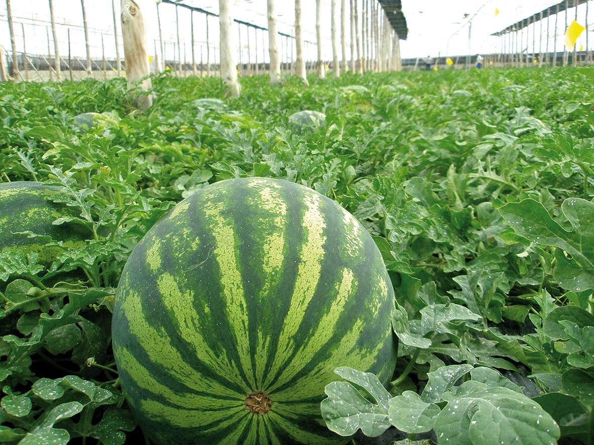 Resultado de imagen para melón de sandía