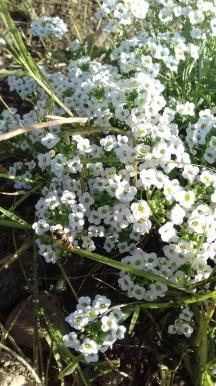 Aliso o lobularia, una de las plantas beneficiosas para Necremnus